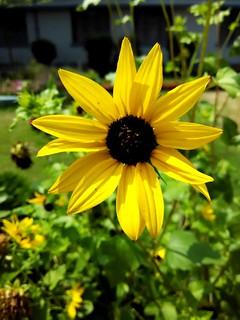 !!Flower Sunflower!!
