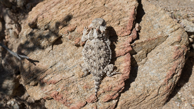 Baby horny toad, m335