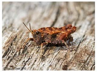 _MG_0568-Common-Groundhopper