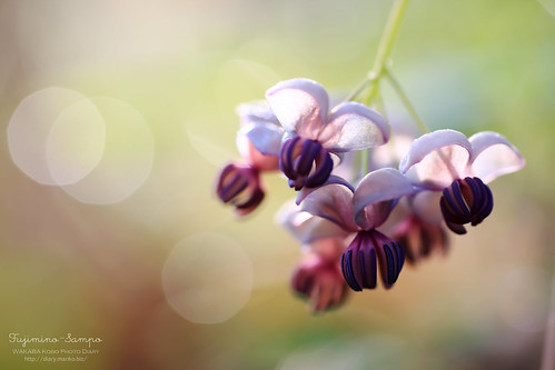 アケビの花 20150412-IMG_0086