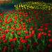 Flower fields by Masa_N