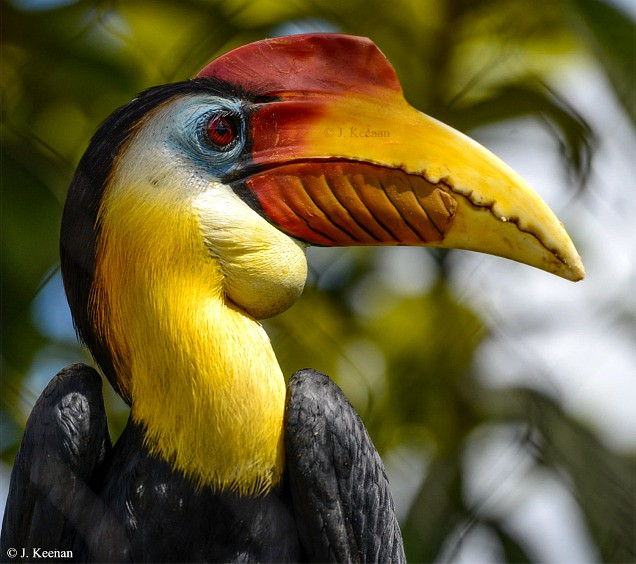 Sunda Wrinkled Hornbill - Aceros corrugatus
