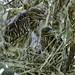 Black Crowned Night Heron Chicks by Jeff Clow