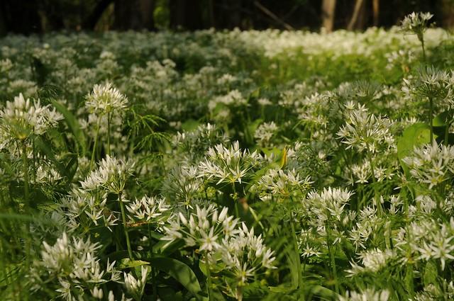 Blütenzauber im Wald - Bärlauch (Allium ursinum) blüht; Bergenhusen, Stapelholm (46)