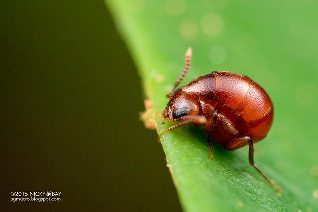 Rove beetle (Aleocharinae) - DSC_5071