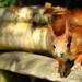 Red Squirrel - British Wildlife Centre