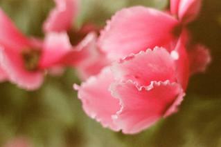 Soft Pink Frills