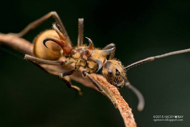 Fish hook ant (Polyrhachis sp.) - DSC_3908