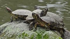 Red-Eared Slider Turtle Quartet Sunning