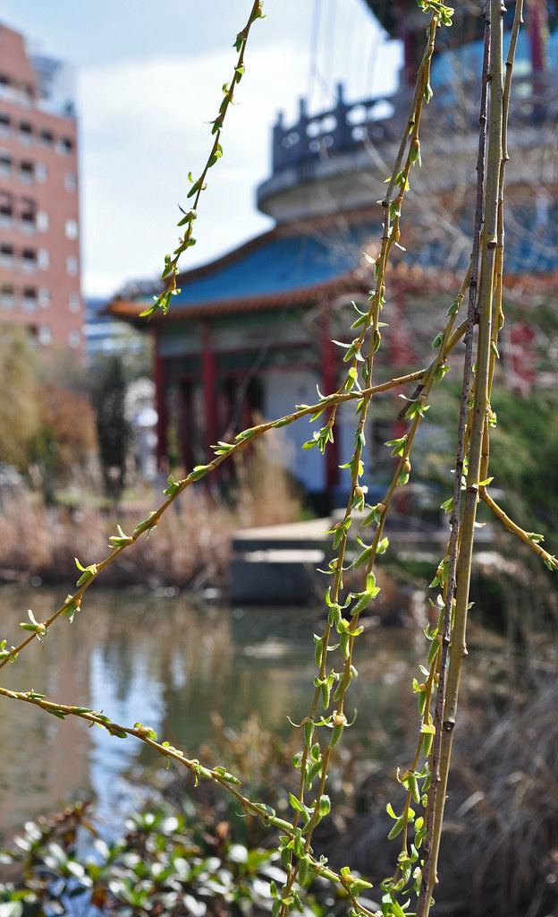 Salix  at the Pagoda Garden) (1)