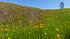 California poppies, Serpentine Prairie, Redwood Regional Park, Oakland, CA, 25MAR15