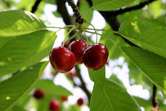 shrub(0.0), acerola(0.0), flower(0.0), plant(0.0), crataegus pinnatifida(0.0), produce(0.0), food(0.0), schisandra(0.0), evergreen(1.0), cherry(1.0), branch(1.0), leaf(1.0), tree(1.0), chokecherry(1.0), fruit(1.0),