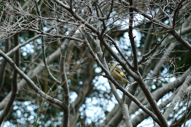 カワラヒワ Oriental Greenfinch