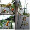 Mateng tomatnya :)  #tomat #alhamdulillah #hydroponic #berkebun #relaxing