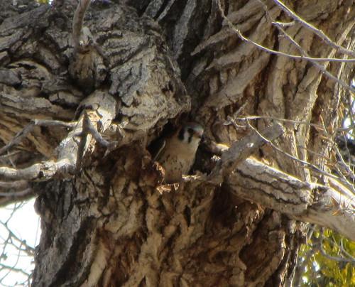 American Kestrel in potential nest cavity
