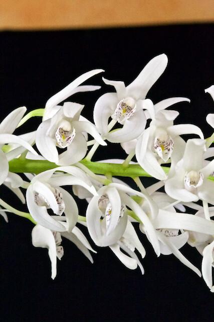 Dendrobium ruppianum 16810990212_20c754ab3a_z