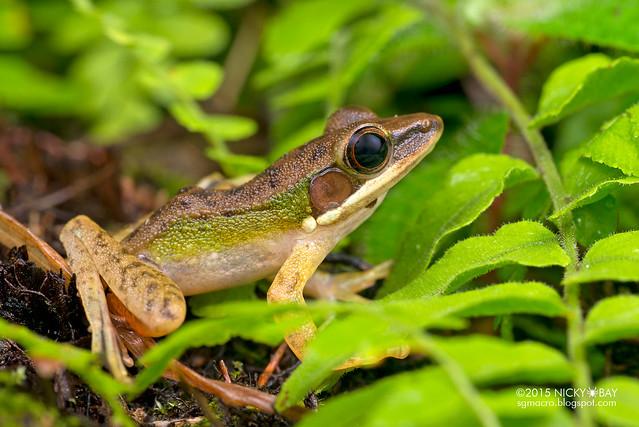Copper-cheeked frog (Hylarana labialis) - DSC_2658