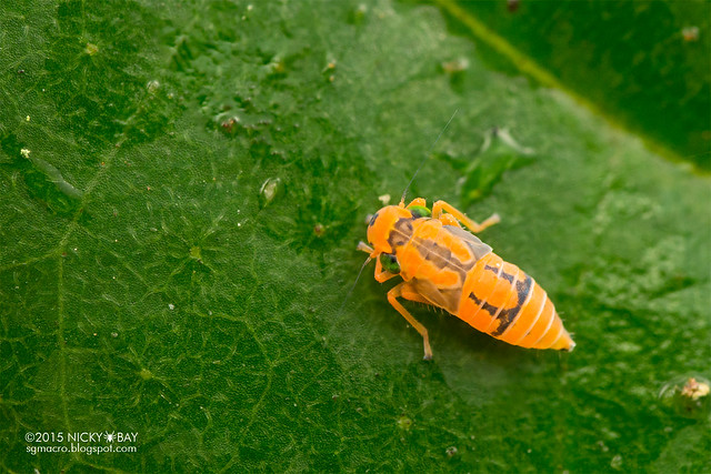 Leafhopper (Cicadellidae) - DSC_2713