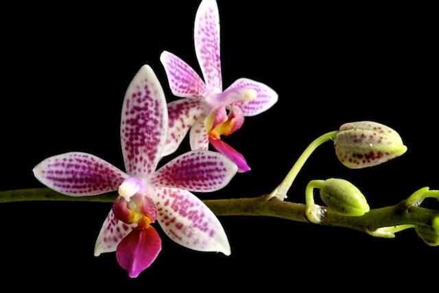 Phalaenopsis Little Sister 16919646508_1a3f8d551a_z