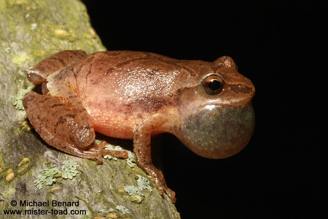 Cleveland Spring Peeper