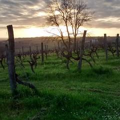 Coucher de soleil dans les vignes #nofilter
