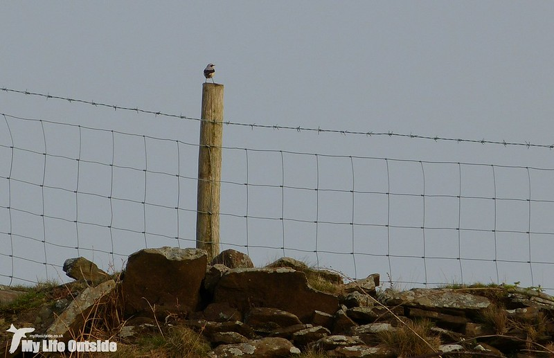 P1120138 - First Welsh Wheatear of the year
