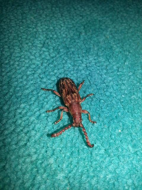 Beetle on carpet