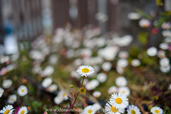Daisies in london