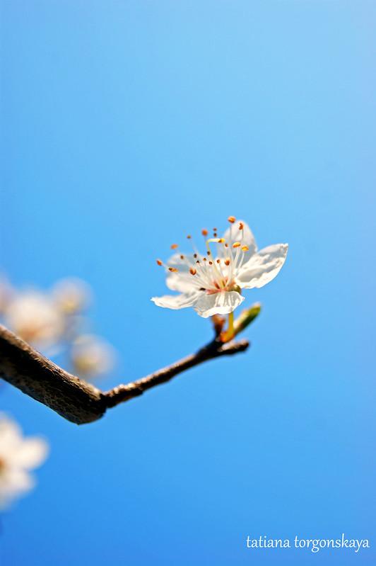 Цветочек алычи