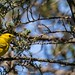 Yellow Warbler with fledge-5236