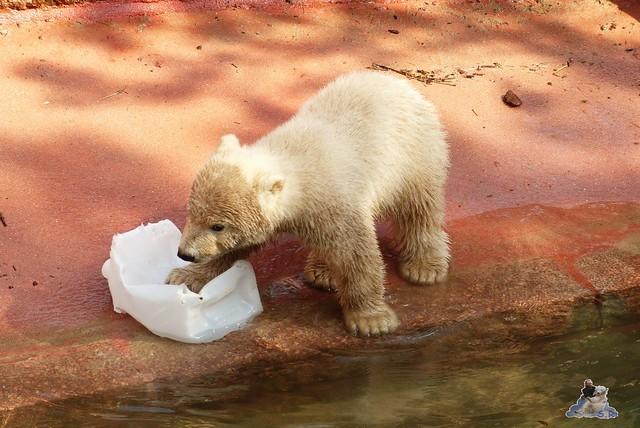 Eisbär Fiete Zoo Rostock 11.04.2015 Teil 1 104