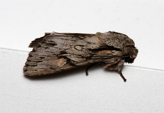 Egira crucialis - Hodges # 10508