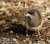 Dark-eyed Junco with nesting material