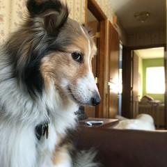 Cute Maggie. #puppymilldog #fosterdog #Sheltie