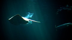 deep sea fish(0.0), freediving(0.0), rays and skates(1.0), animal(1.0), manta ray(1.0), fish(1.0), marine biology(1.0), underwater(1.0), cartilaginous fish(1.0), blue(1.0),