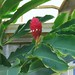 Torch ginger by ijbarton