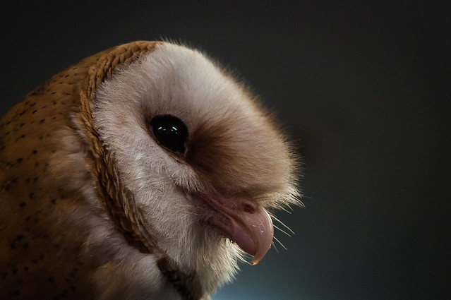 Barn Owl - Profile