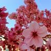 #lookingup #sakura #Nagasaki