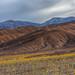 Desert Sunflowers in Death Valley by Jeffrey Sullivan
