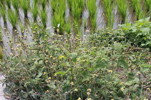 田埂的野草很多都是可以利用的植物。