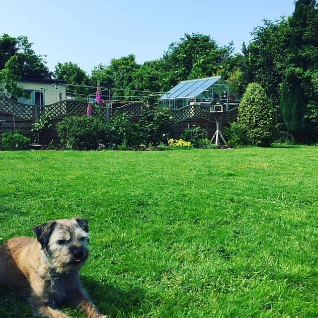 #sunny #Sunday feels in #Kent with this one #Hobbes #borderterrier