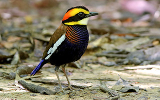 Malayan Banded Pitta (Hydrornis irena)