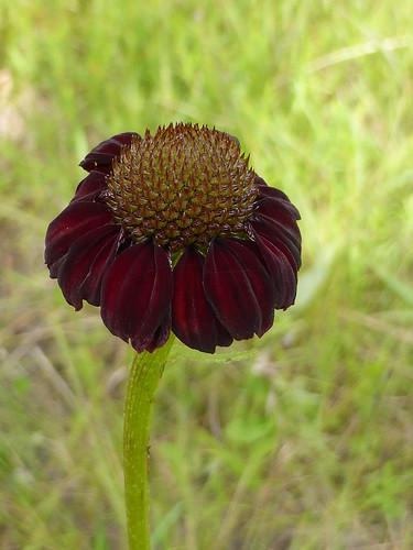 grassleafconeflower rudbeckiagraminifolia wfsite3transformer