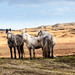 Connemara ponies by Sigita JP