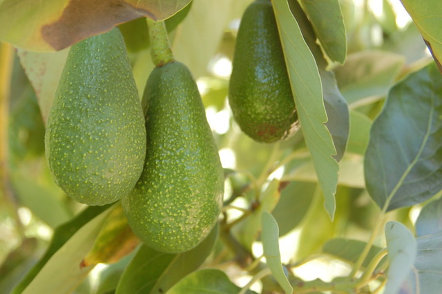 Palta in the Valle de Elqui, Chile