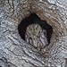 Western Screech Owl by Ken Phenicie Jr.