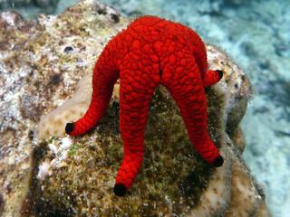 starfish fromia elegans