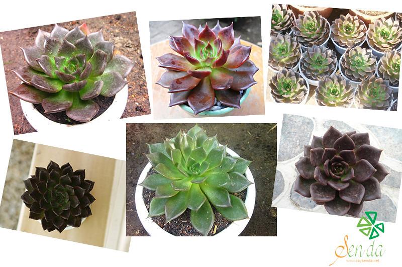 caysenda.com | sen da | xuong rong | tieu canh sen da | art plant | terrarium | sen da nau