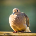 Fluffed Dove by bodeophoto