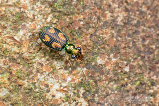 Ground beetle (Pericalus cf. figuratus) - DSC_4732